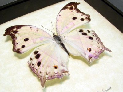 Salamis parhassus Male Mother Of Pearl Shimmery Real Framed Butterfly