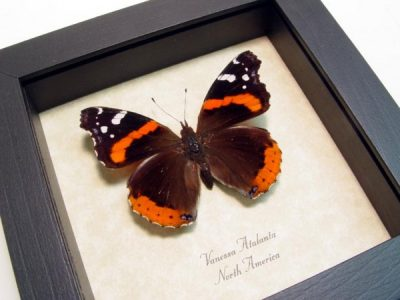 Vanessa atalanta Male Red Admiral Real Framed North American Butterfly