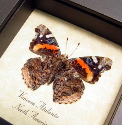 Vanessa atalanta Verso Red Admiral Real Framed North American Butterfly