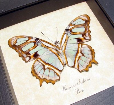 Victorina stelenes The Malachite Real Framed Green Butterfly