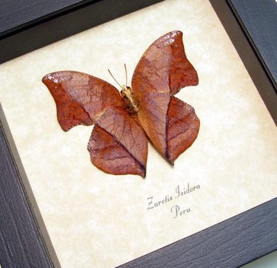 Zaretis isidora Verso Leaf mimic butterfly Real Framed Butterfly