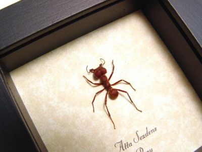 Atta sexdens Real Framed Leafcutter Ant Insect