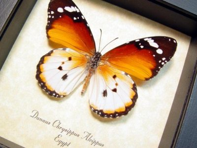 Danaus chrysippus alcippus Plain Tiger or the African Monarch Real Framed Butterfly