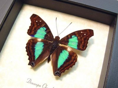 Doxocopa cherubina The Turquoise Emperor Metallic Blue Green Real Framed Butterfly