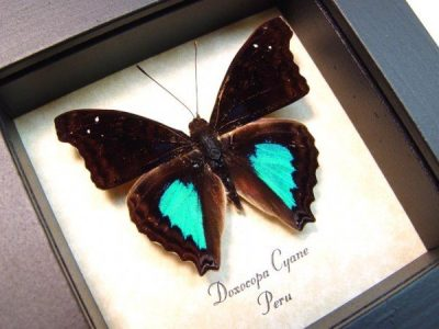 Doxocopa cyane Cyane Emperor Real Framed Metallic Blue Green Butterfly