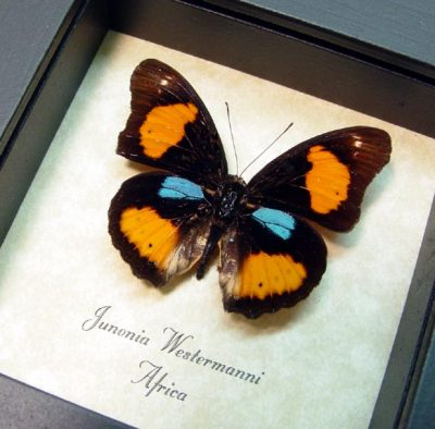 Junonia westermanni Blue Spot Pansy Real Framed Butterfly