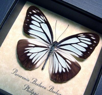 Pareronia boebera The Wanderer Real Framed Powder Blue Butterfly