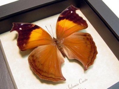 Salamis cacta Female Lilac Mother-of-Pearl or Lilac Beauty Real Framed Butterfly