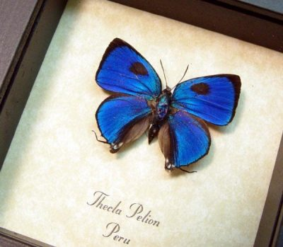 Thecla pelion The Blue Hairstreak Peru Real Framed Butterfly