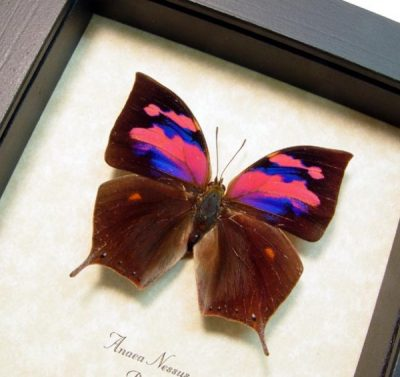 Anaea nessus Rare Pink Purple Real Framed Butterfly