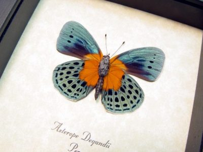 Asterope Degandii Orange Blue Spotted Real Framed Butterfly