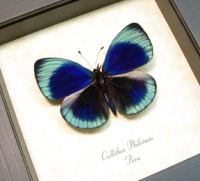 Callithea philotima Metallic Blue Real Framed Butterfly