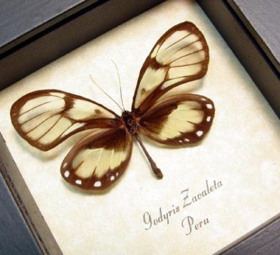 Godyris zavaleta Female Real Framed Spotted Glasswing Butterfly