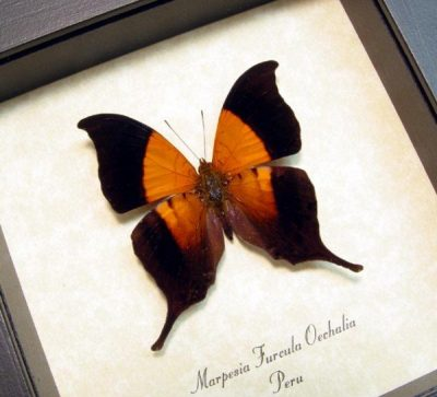 Marpesia furcula oechalia Sunset Daggerwing Swallowtail Real Framed Butterfly