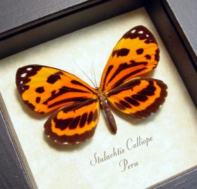 Stalachtis calliope Real Framed Orange Peruvian Tiger Butterfly