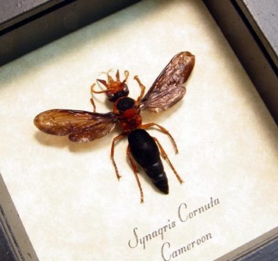 Synagris cornuta Female Real Framed Rare African Tusked Wasp