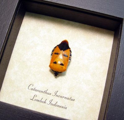 Catacanthus incarnatus Real Framed Strange Man Face Beetle