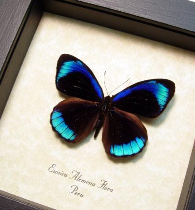 Eunica alcmena flora Real Framed Metallic Electric Blue Butterfly