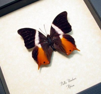 Palla ussheri African Swallowtail Real Framed Butterfly