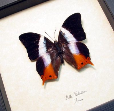 Palla violintins Rare African Violet Orange Swallowtail Real Framed Butterfly
