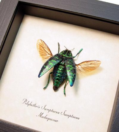 Polybothris sumptuosa Flying Madagascar Real Framed Metallic Jewel Beetle Sug Retail $50