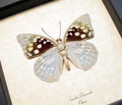 Sasakia charonda verso Japanese Emperor Real Framed Butterfly Sug Retail $40
