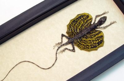 Draco sp-Gold Real Framed Flying Dragon Lizard