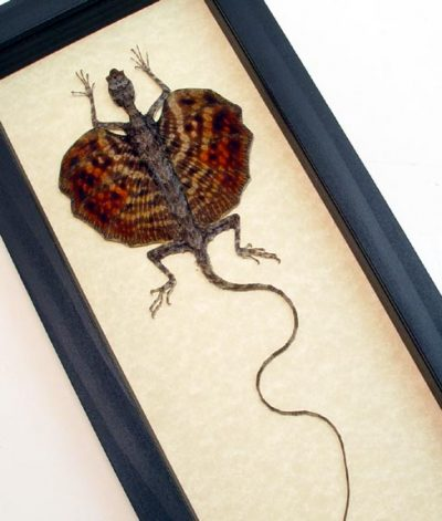 Draco sp-Multi Colored Real Framed Flying Dragon Lizard