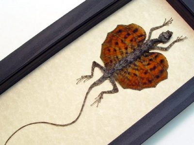 Draco sp-Orange Real Framed Flying Dragon Lizard