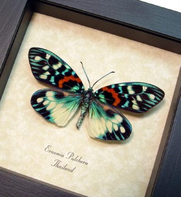 Burnet or Forester moths