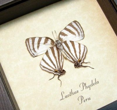 Laothus Phydela Real Framed Rare Delicate Swallowtail Butterfly