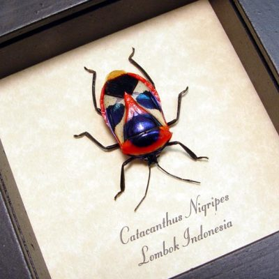 Catacanthus nigripes Real Framed Orange Red Man Face Beetle