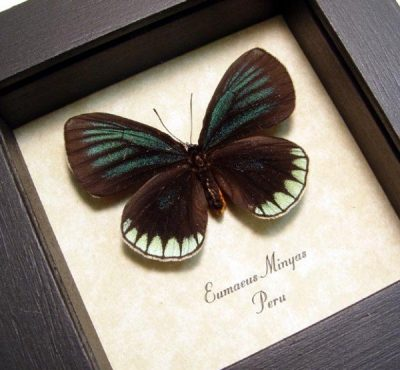 Eumaeus minyas Metallic Green Hairstreak Real Framed Butterfly