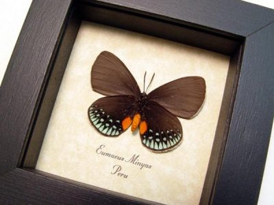 Eumaeus minyas verso Metallic Green Hairstreak Orange Real Framed Butterfly