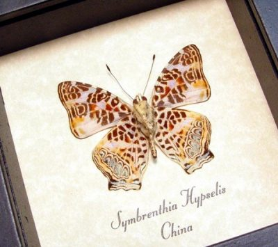 Symbrenthia hypselis Himilayan Jester Real Framed Butterfly