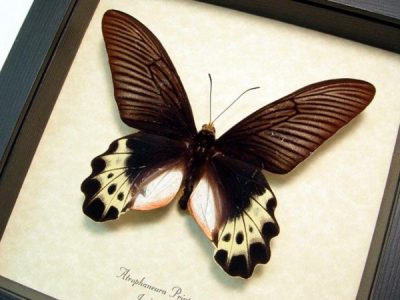 Atrophaneura priapus White-head Batwing Real Framed Butterfly