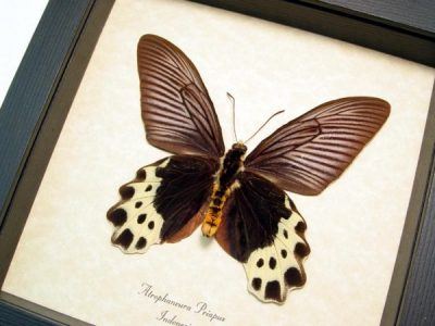Atrophaneura priapus verso White-head Batwing Real Framed Butterfly