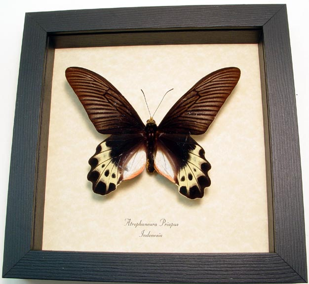 Atrophaneura priapus White-head Batwing Real Framed Butterfly Sug ...