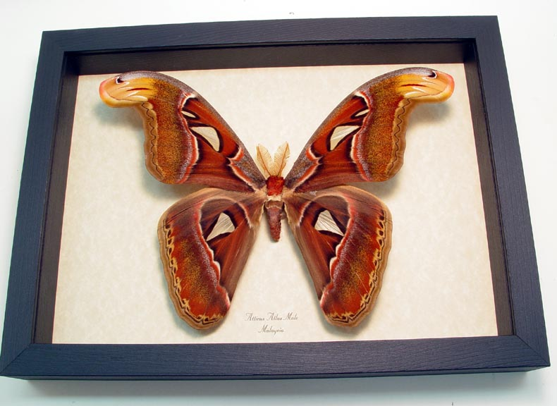 "8""x 11"" Insect Frames"