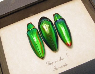 Brupestidae sp set 3 Real Framed Metallic Green Jewel Beetles Collection