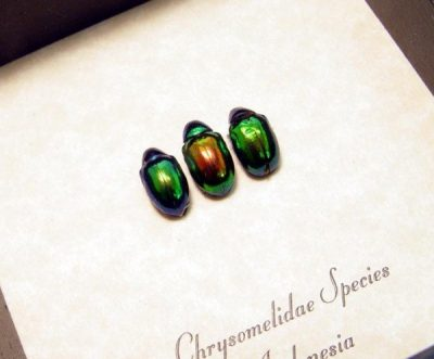 Chrysomelidae set Real Framed shiney leaf beetles