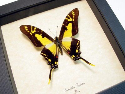 Eurytides thyastes Yellow Swordtail Real Framed Butterfly