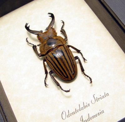 Odontolabis striata Real Framed Fighting Stag Beetle