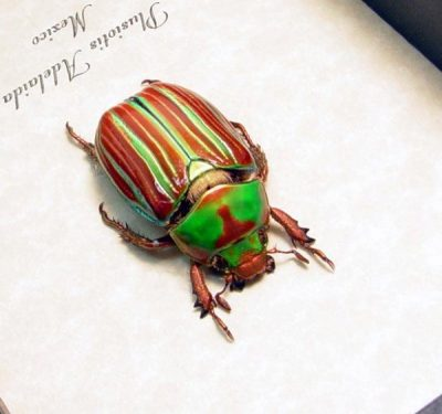 Plusiotis adelaida  Real Framed Jewel Red Green Scarab Beetle
