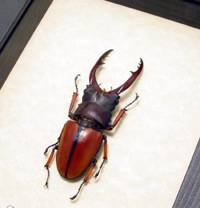 Prosopocoilus Astacoides 65mm+ Real Framed Fighting Red Stag Beetle