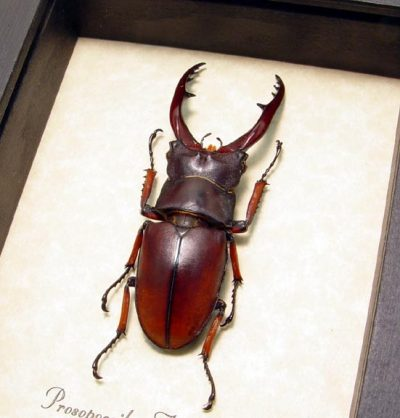 Prosopocoilus Astacoides 55mm+ Real Framed Fighting Red Stag Beetle
