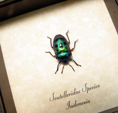 Scutelleridae sp Real Framed Metallic Green Man Face Beetle