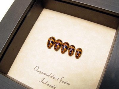 Chrysomelidae set Real Framed Skull face Beetles