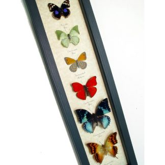 african-butterfly-collection-22