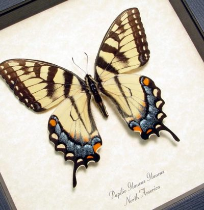 Papilio Glaucus Female Yellow Blue Real Framed Tiger Swallowtail Butterfly